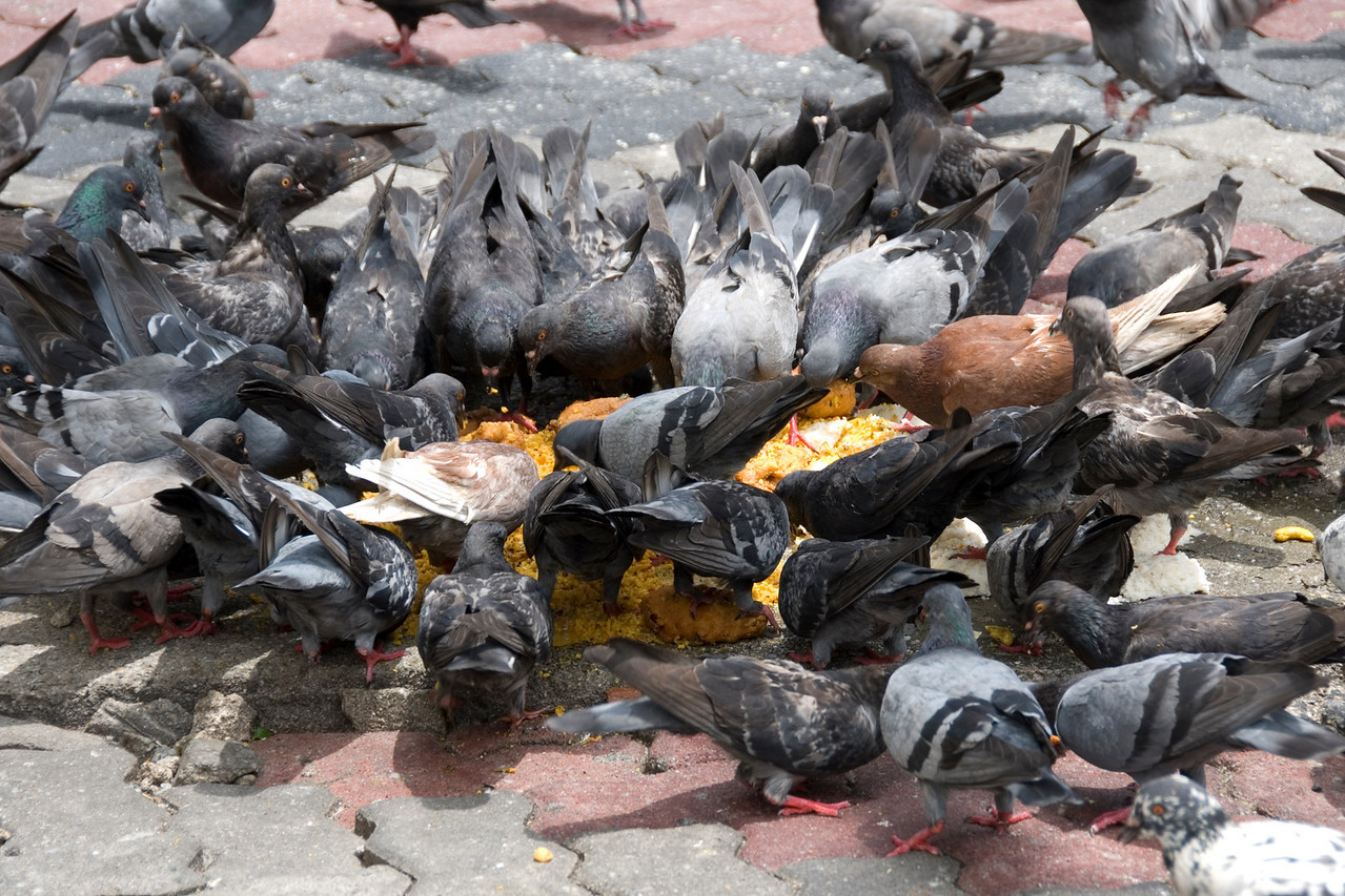 Group of pigeons eating on rice from the ground - George Town, Penang, Malaysia
