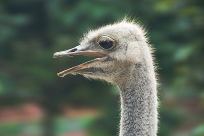 Close-up shot of an ostrich sighting in Malaysia