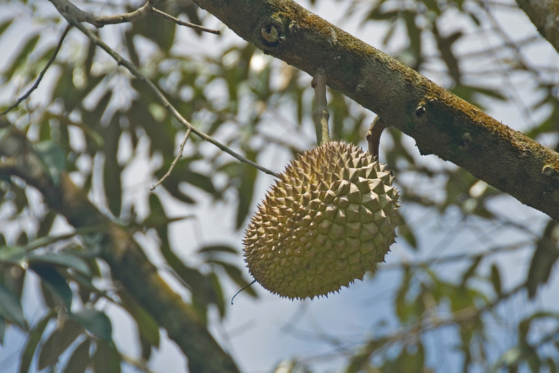 Solitary durian hanging from a tree branch - Malaysia