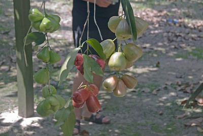 Water apples hanging from a tree in Malaysia
