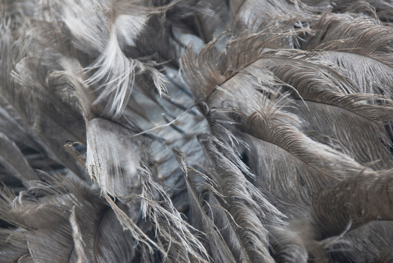 Close-up shot on details of ostrich feathers in Malaysia