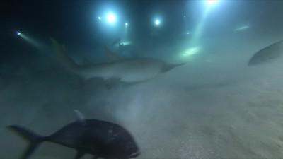Night shark dive