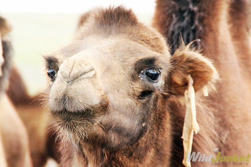 A close up of the camel