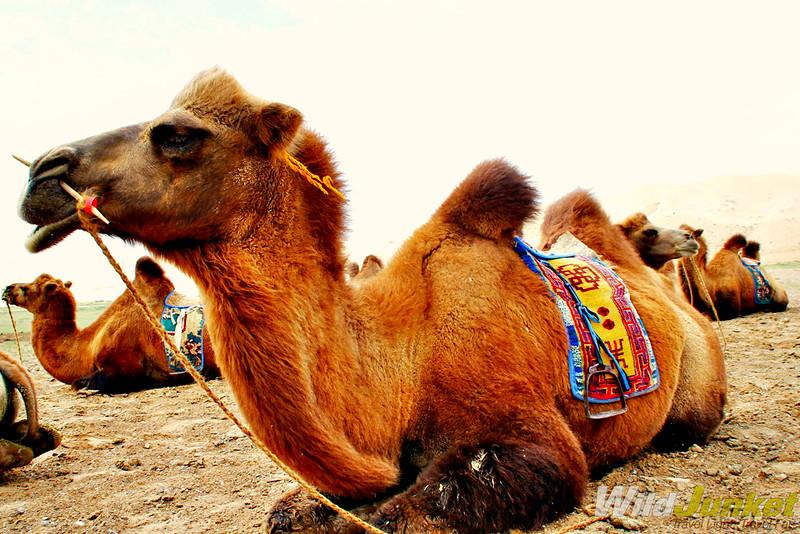 The camels of Gobi