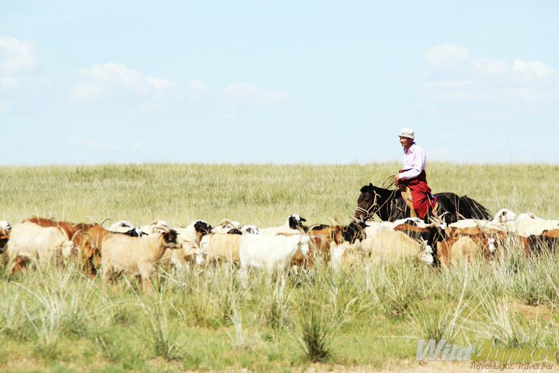 Horseman herding his cattle