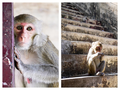 Hungry and aggressive monkeys line the many steps as pilgrims make their way up Mt. Popa to the Popa Taungkalat monastery.