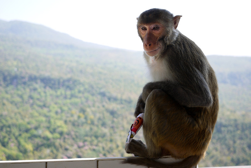 A Macaque monkey looking over the Pegu mountain range in Central Burma, on Mount Popa, near Bagan.