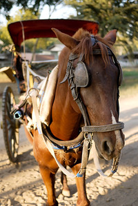 One of the horses used to cart tourists around to the various temples in Bagan, Burma (Myanmar)