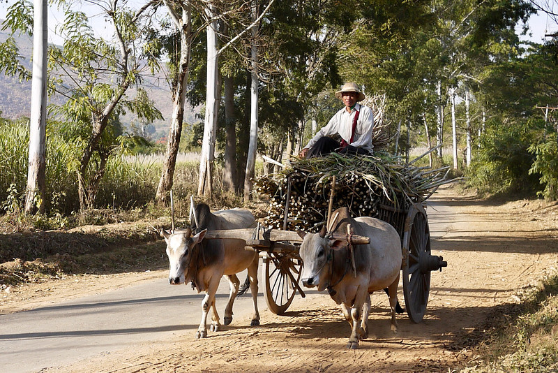 An ox and cart Inle Lake, Burma (Myanmar).