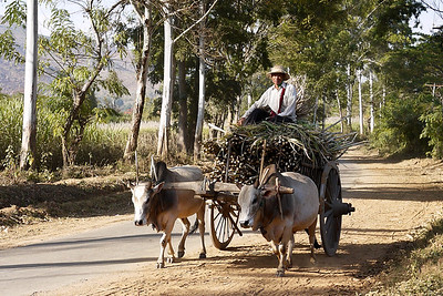An ox and cart Inle Lake, Burma (Myanmar).