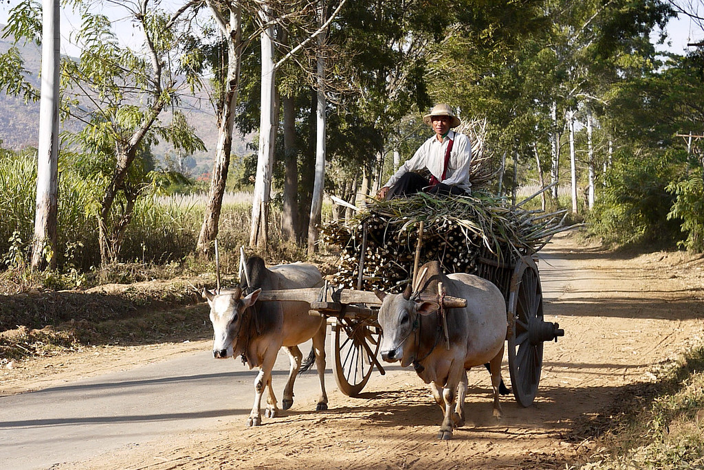 Ox cart and driver, Inle Lake, Burma