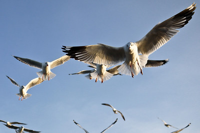 Seagulls flying after our boat on Inle Lake, Burma (Myanmar).