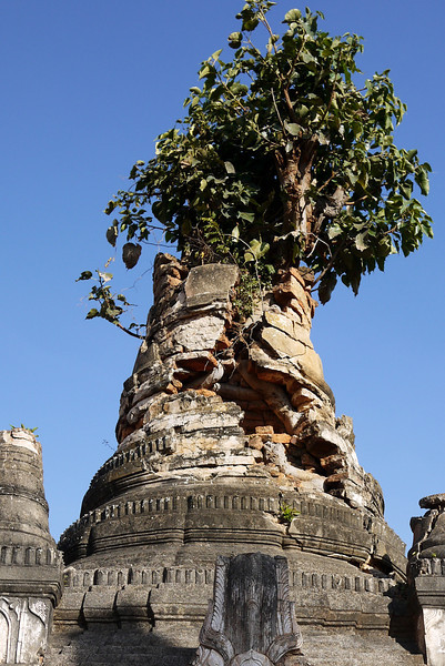 A tree grows out of Shwe Inn Tain Pagoda, Inle Lake, Burma (Myanmar).