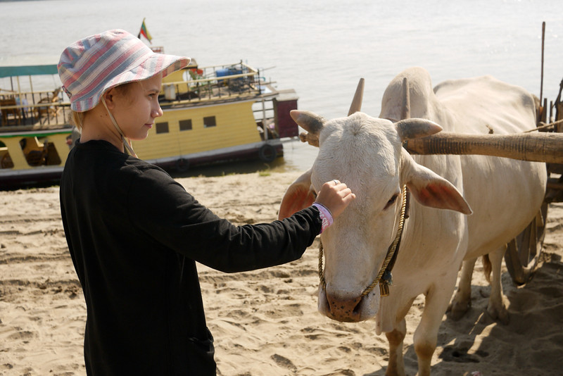 Ana touches all animals, including these ox pulling the taxi cart on the beaches near Mingun temple, Mandalay.