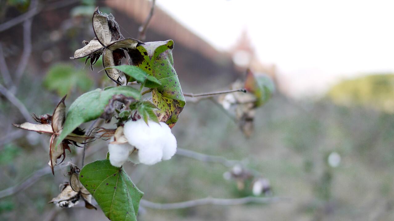 Fresh blossoming cotton near the Madalay Palace.