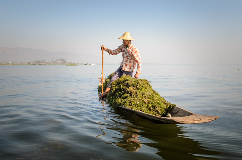 "You see many people on Inle Lake gathering ""seaweed.""  They paddle way out in the lake, fill their boat and head back.  I believe it is used for fertilizer."