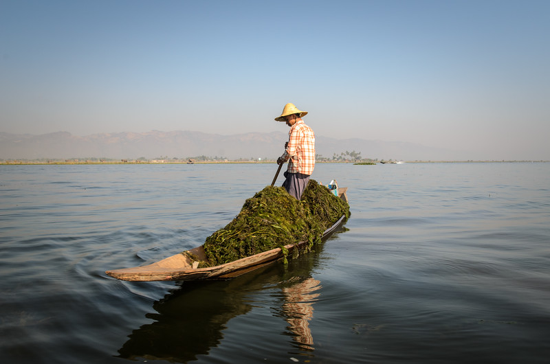 Seaweed gatherer, Inle Lake.
