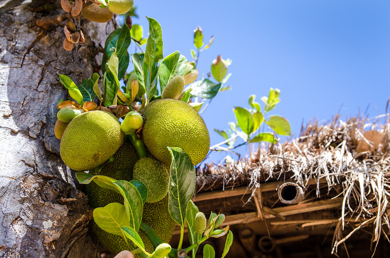 Jackfruit growing on a tree.