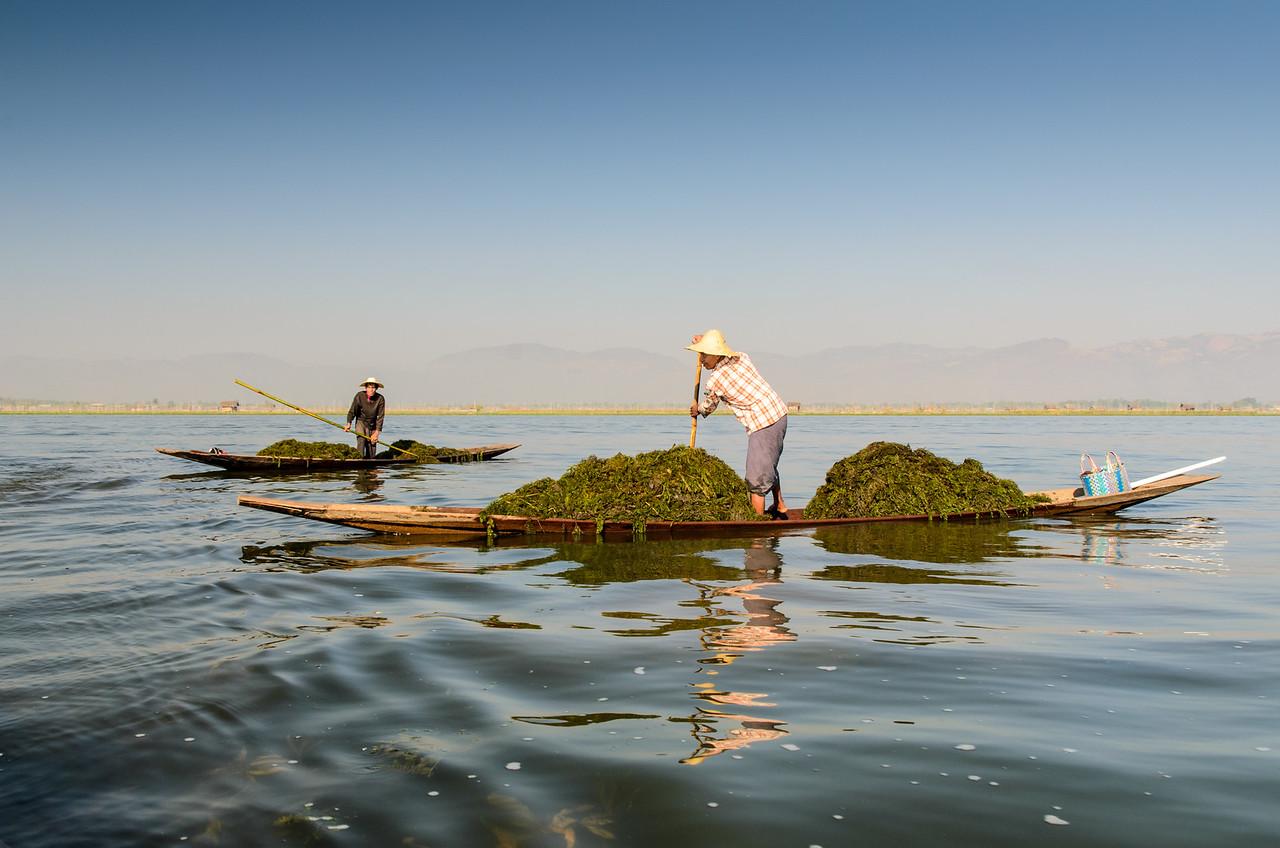Seaweed gatherer, Inle Lake.