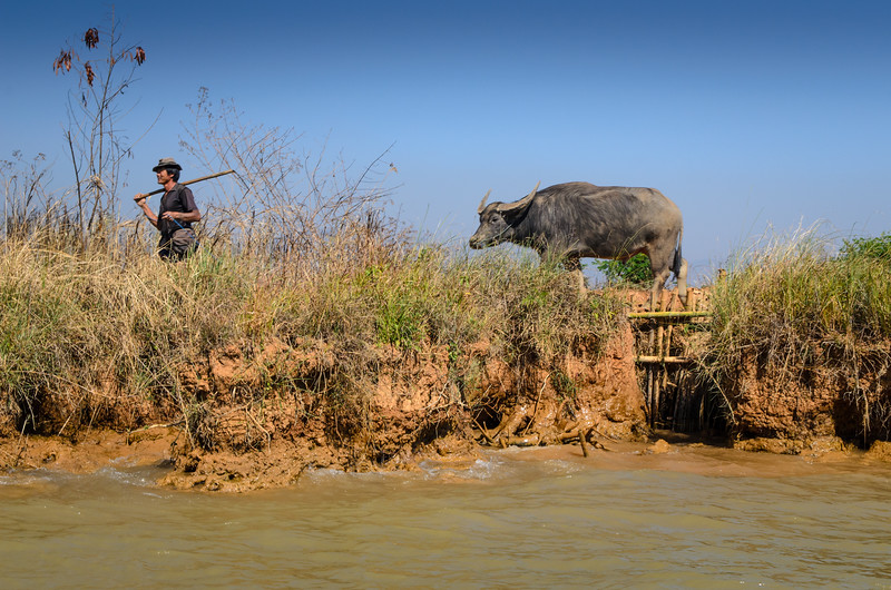 Man with a water buffalo.  You see all kinds of sights from daily life.