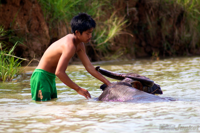 A boy scrubs up his water buffalo