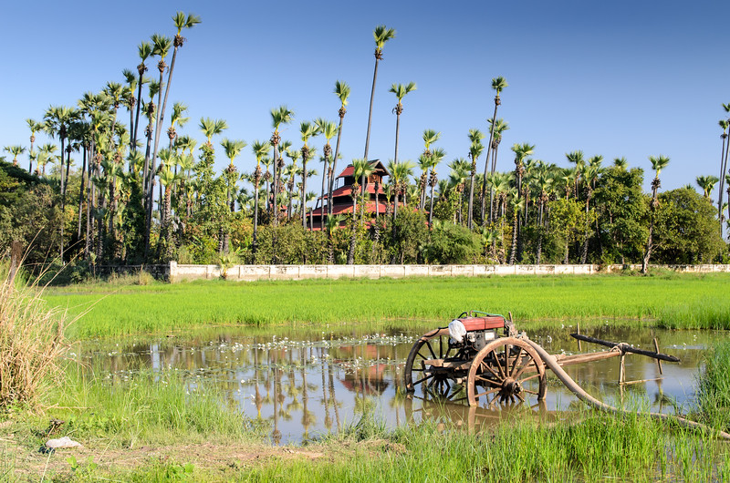 A rice paddy in Inwa with the Bagaya Monastery in the background.
