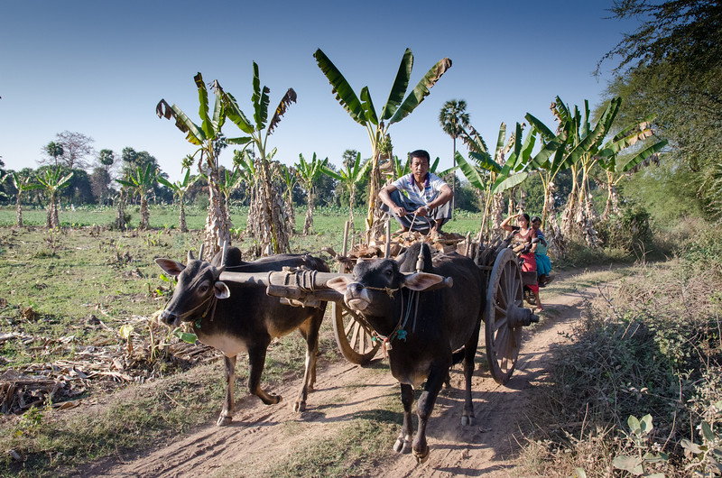 Man driving an ox cart through banana fields, Inwa, Myanmar.