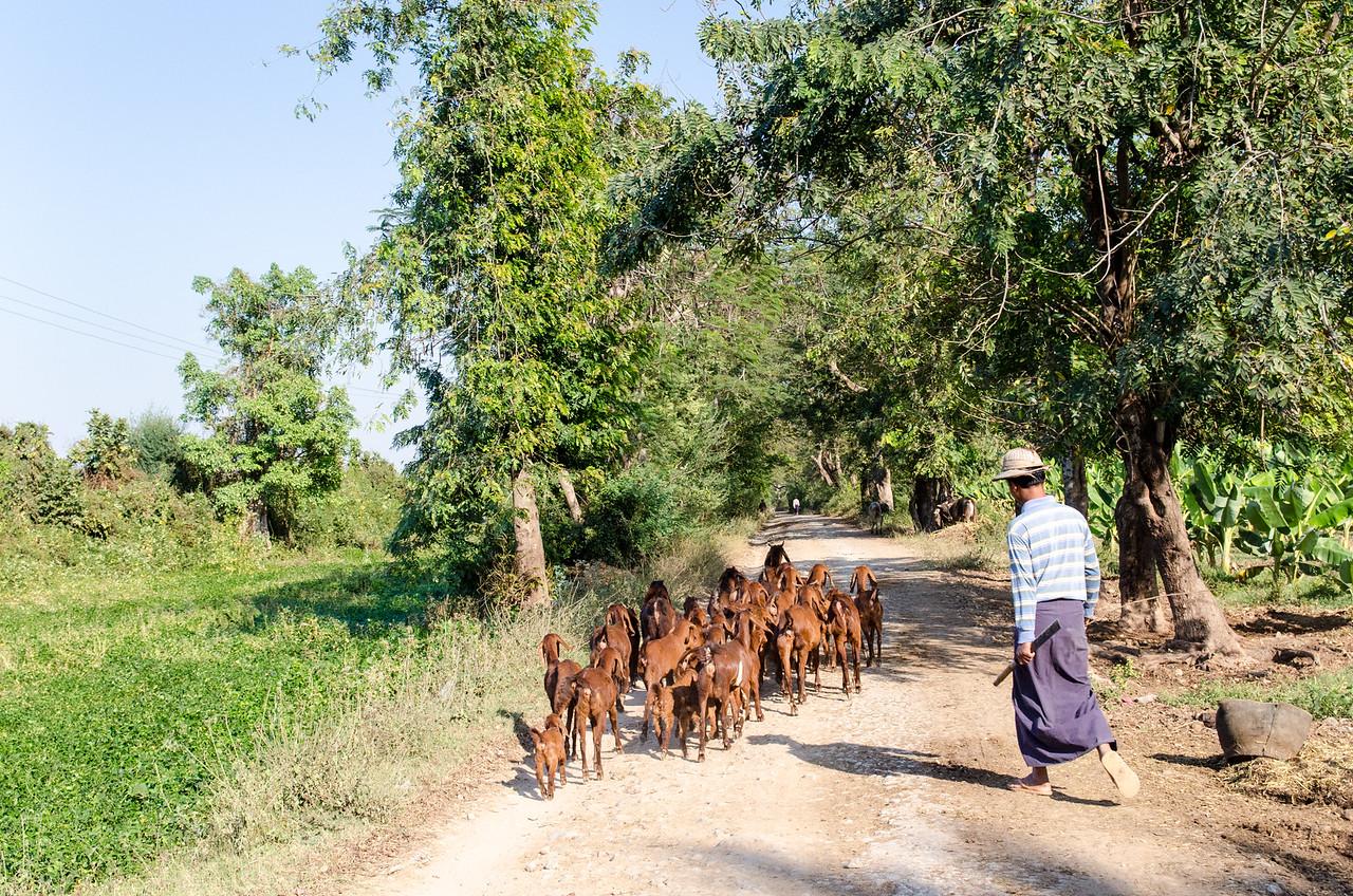 Man herding goats, Inwa, Myanmar.
