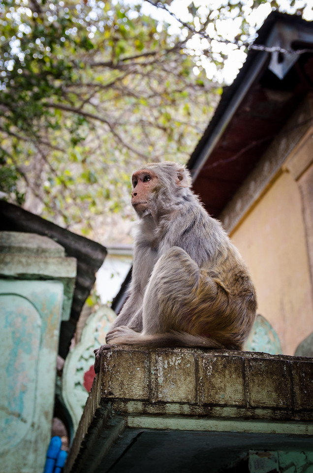 There are Macaque Monkeys all over Mt Popa.