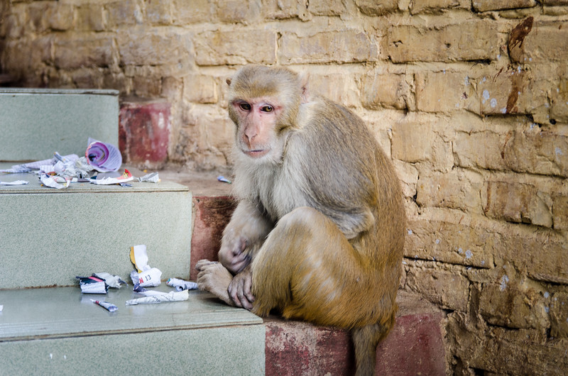 Some of the monkeys are pretty sad looking.  They basically live off of handouts and garbage.