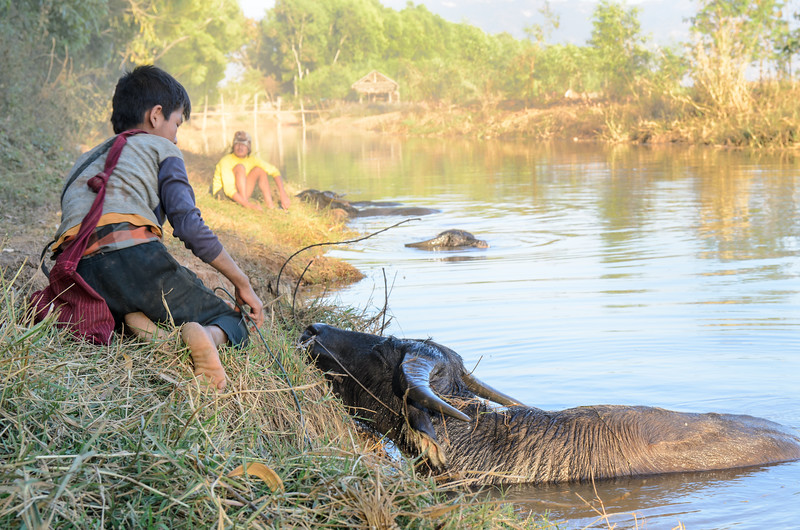 These boys had taken the water buffalo to the canal for a swim.