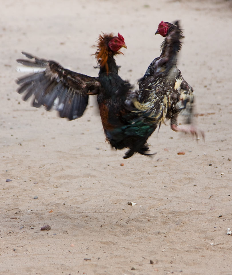 Two fighting cocks go at each other during 'training'.  This wasn't a real fight.<br /> <br /> Location: Nyaung U, Myanmar<br /> <br /> Lens used: 24-105mm f4.0 IS