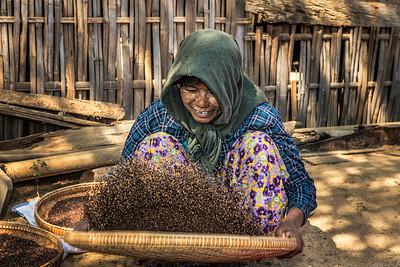 Burmese farmer woman threshes corn