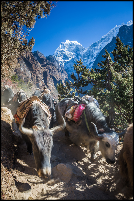 Dzos on the route to Tengboche