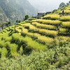 Terraces of rice
