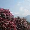 Our national flower- Rhododendron<br /> Ghorepani trek