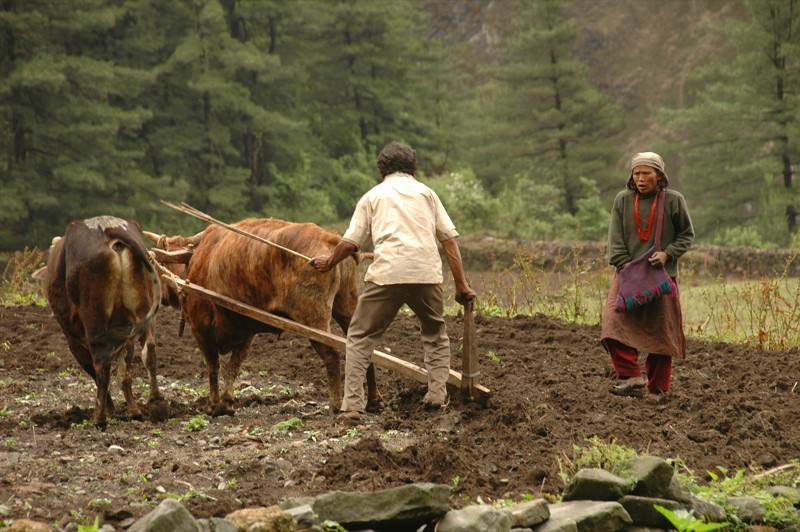 Plowing Fields with Oxen - Annapurna Circuit, Nepal
