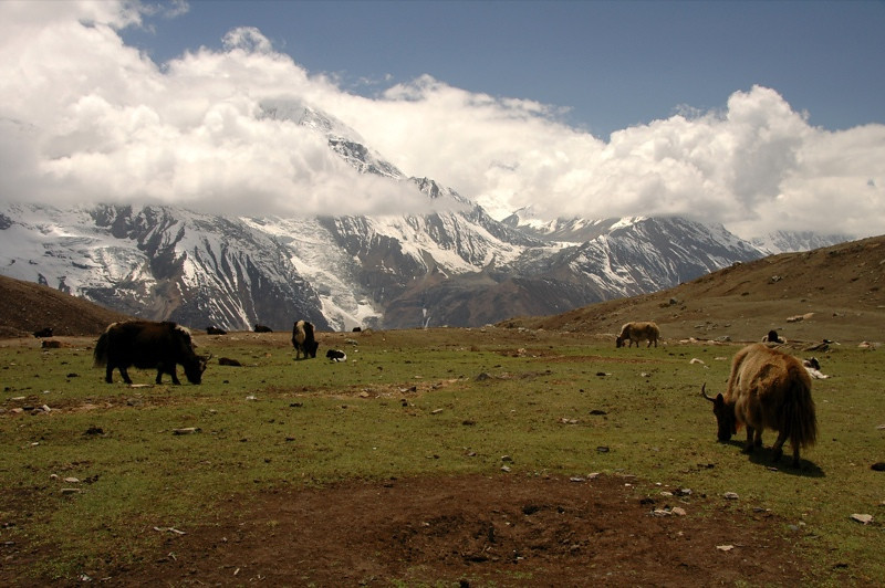 Yaks at Ice Lake - Annapurna Circuit, Nepal