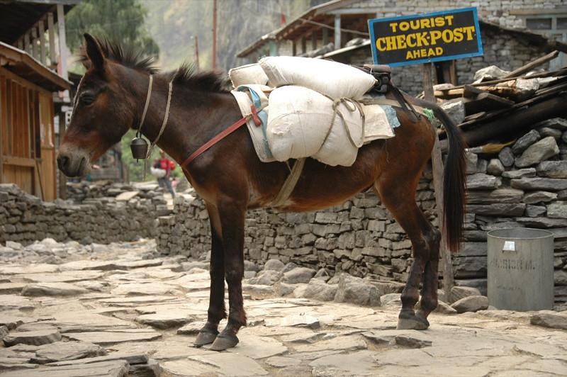 Mule at Dharapani - Annapurna Circuit, Nepal