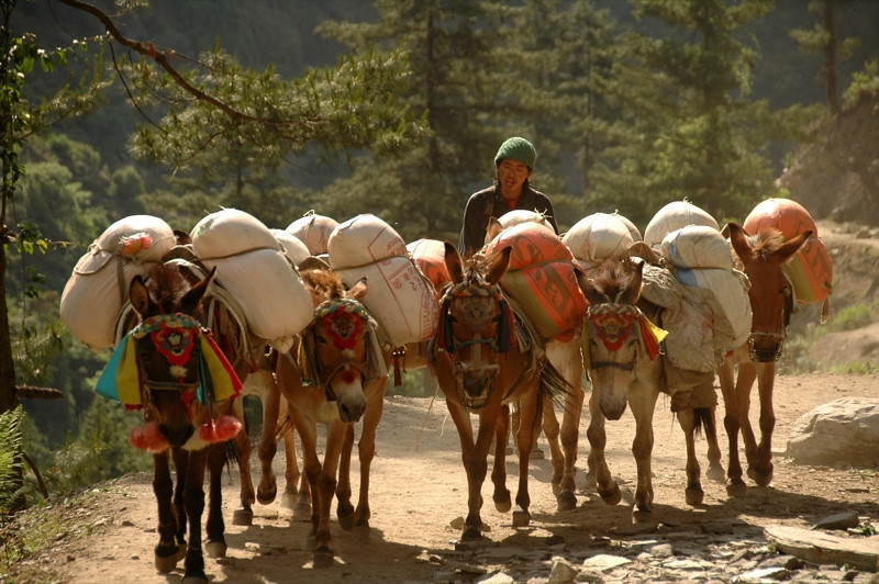 Morning Mule Train - Annapurna Circuit, Nepal
