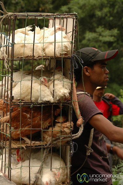 Carrying Up Tourist Chickens - Annapurna Circuit, Nepal