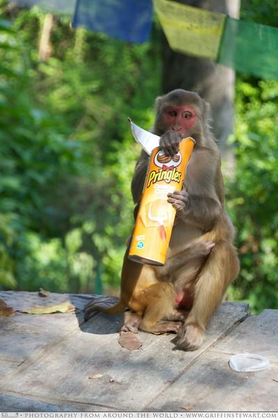Monkey Thief in Nepal