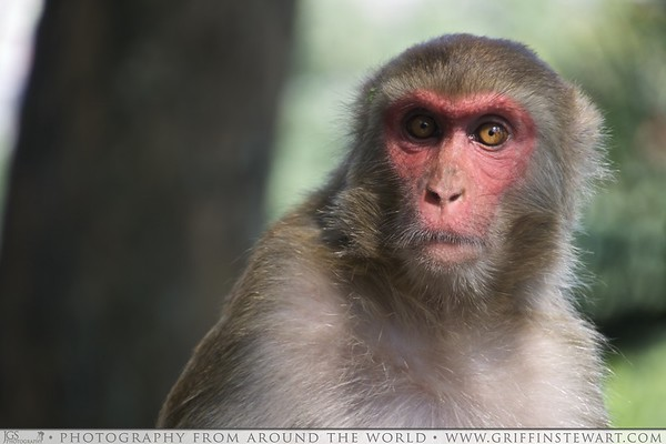 Red Faced Monkey in Nepal