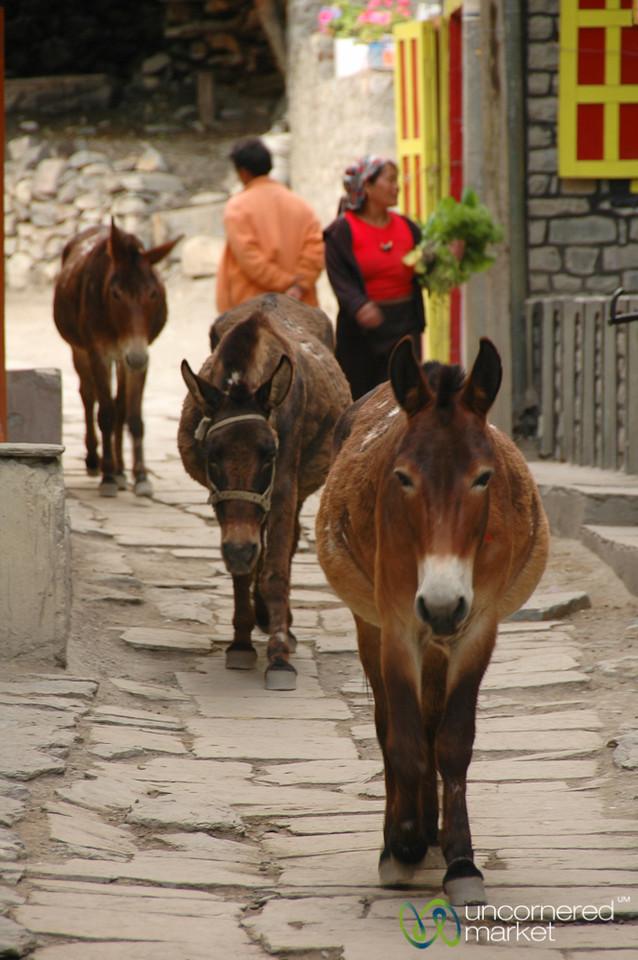 Mules Walking through Town - Annapurna Circuit, Nepal