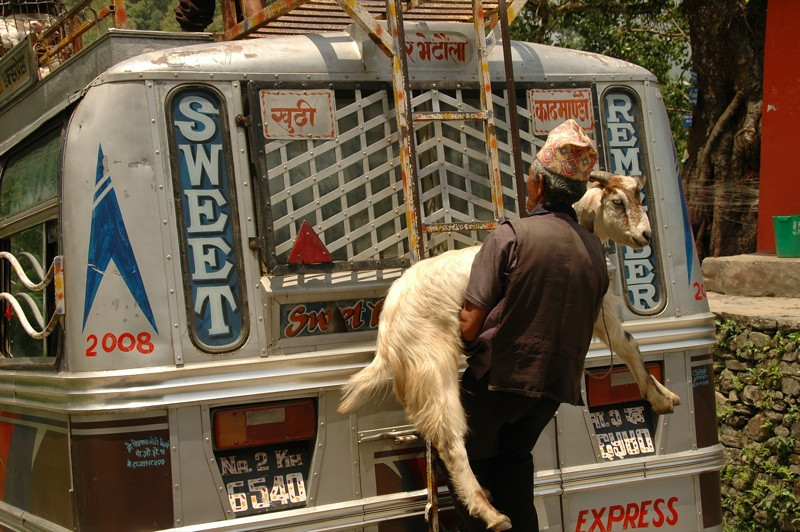Goat on Local Bus - Annapurna Circuit, Nepal