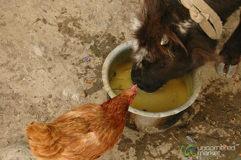 Chicken & Goat Sharing Dinner - Annapurna Circuit, Nepal
