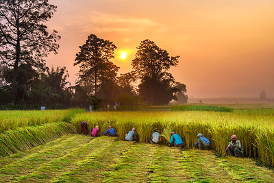 Nepalese people working in a rice field at sunrise