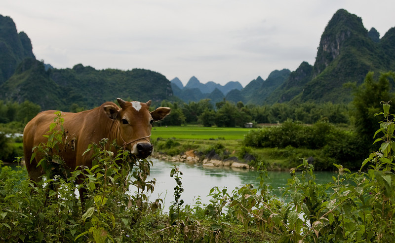 A cow grazes along the Bản Giốc river with the country's ubiquitous karst pinnacles behind.<br /> <br /> Location: Bản Giốc region, Northeastern Vietnam<br /> <br /> Lens used: 24-105mm f4.0 IS