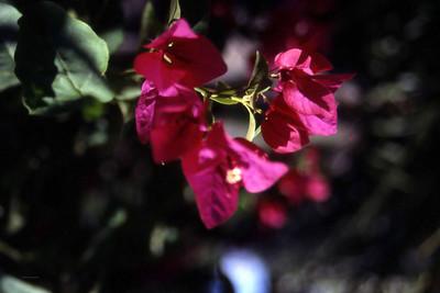 En fin liten rose for å minne oss på at det også vokser roser i Israel. (Foto: Geir)
