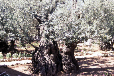 Noen påstår at dette treet stod i denne hagen da Jesus fortvilet ble forrådt. Kanskje var det akkurat her det skjedde. (Foto: Geir)